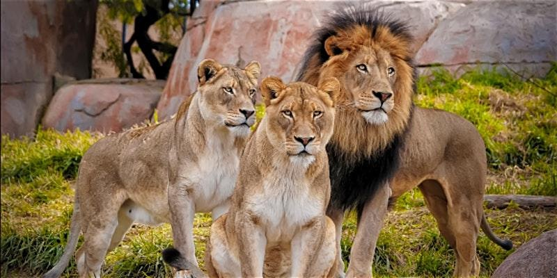 Private Tour of the Lion and Safari Park